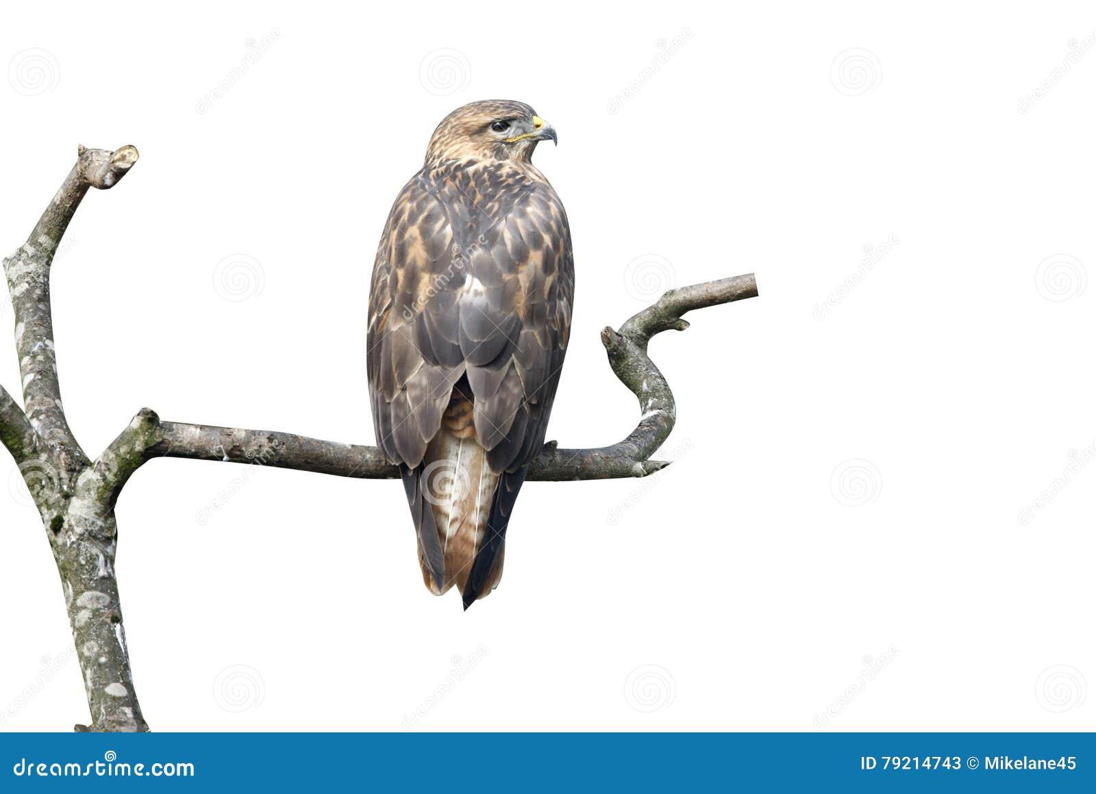 Halcón zanquilargo, rufinus del Buteo