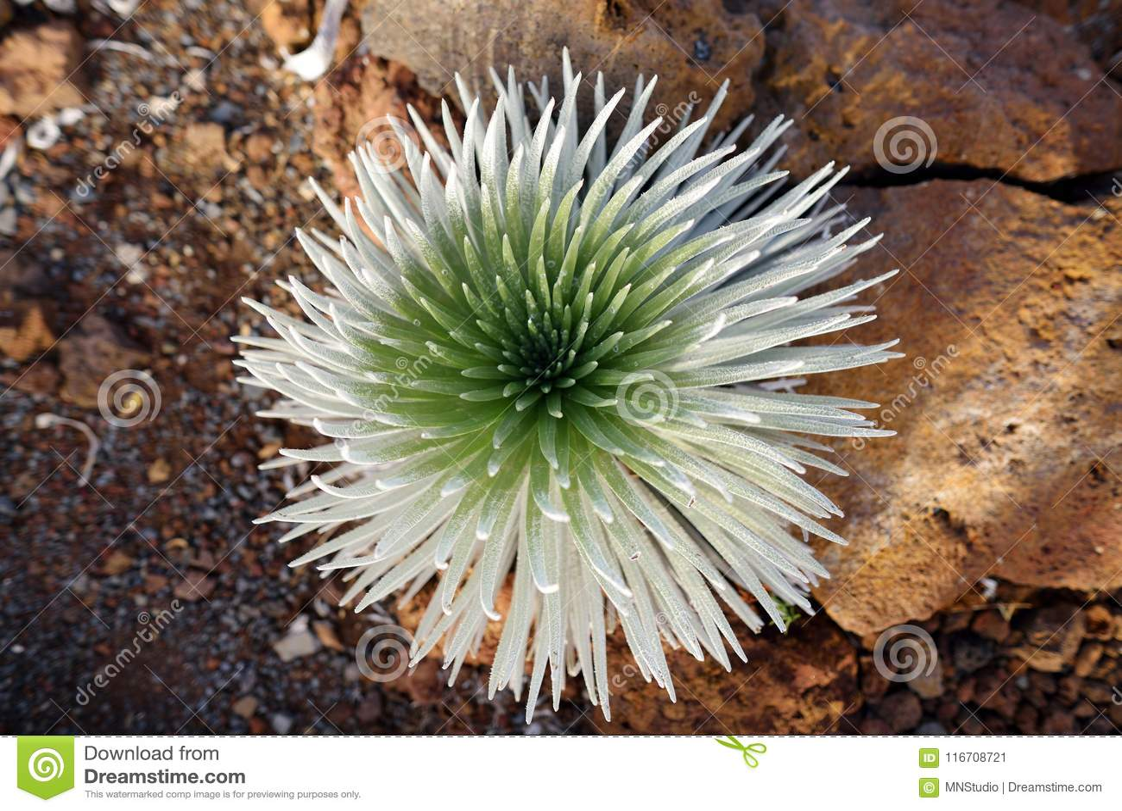 Haleakala silversword, hoogst bedreigde bloeiende installatie endemisch aan het Eiland Maui, Hawaï Argyroxiphium sandwicense subs