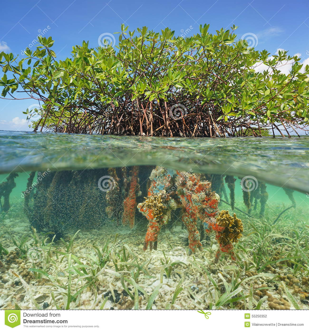 Half Above And Underwater Mangrove Tree Roots Stock Photo ...