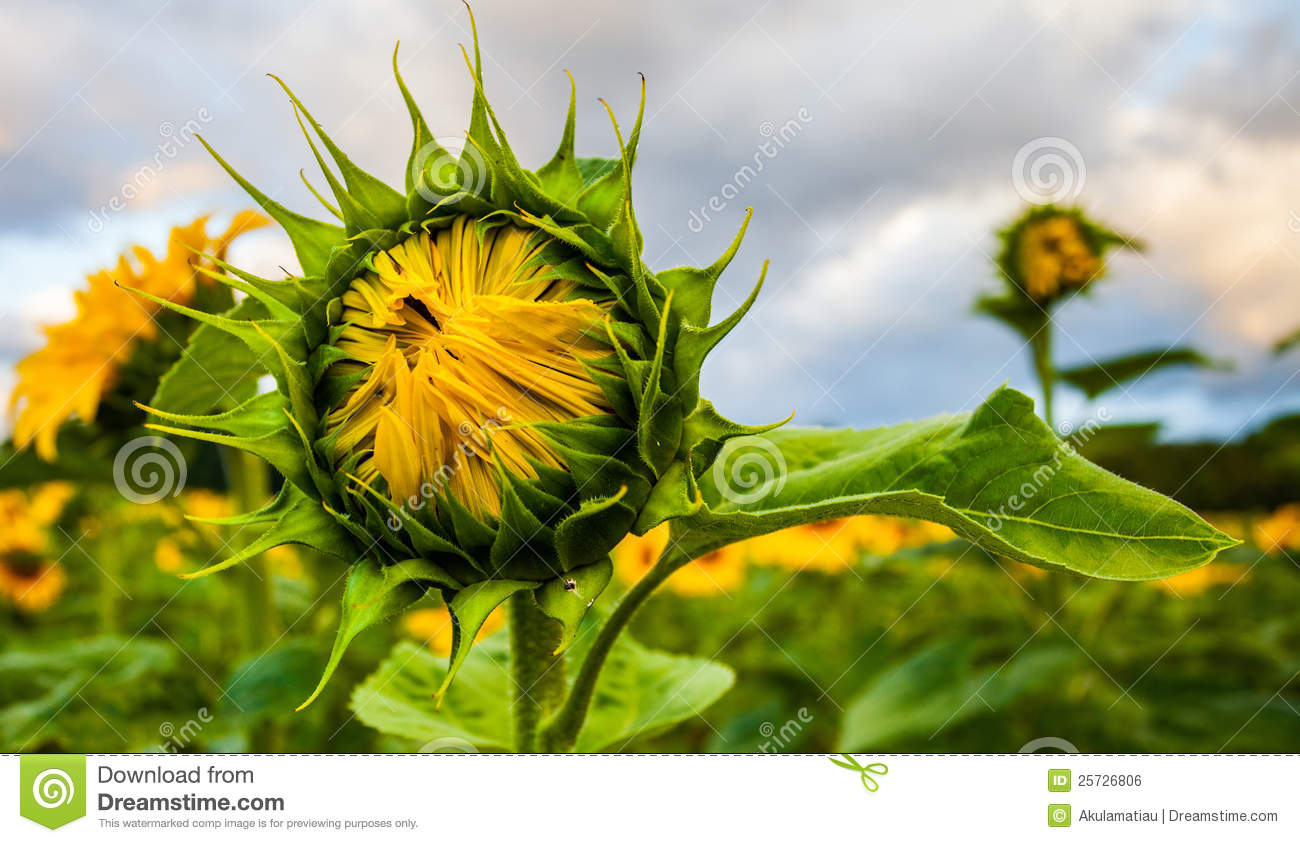 Half bloomed sunflower II