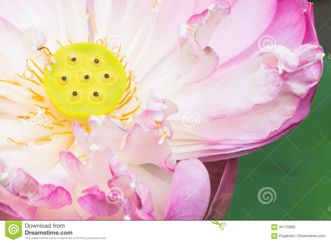 A half of open lotus flower stock photo image of pink asia 94170682 a half of open lotus flower izmirmasajfo