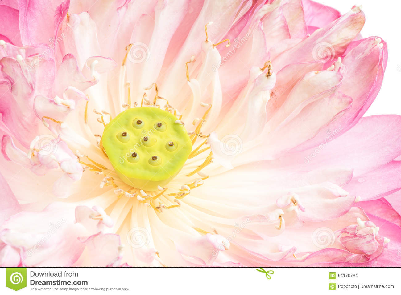 A half of open lotus flower stock photo image of religion closeup royalty free stock photo izmirmasajfo Gallery