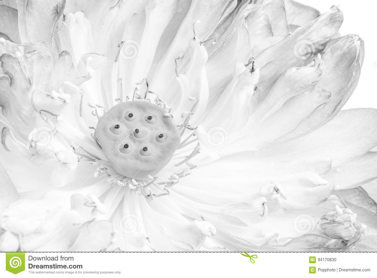A half of open lotus flower stock photo image of symbol peaceful royalty free stock photo izmirmasajfo Gallery