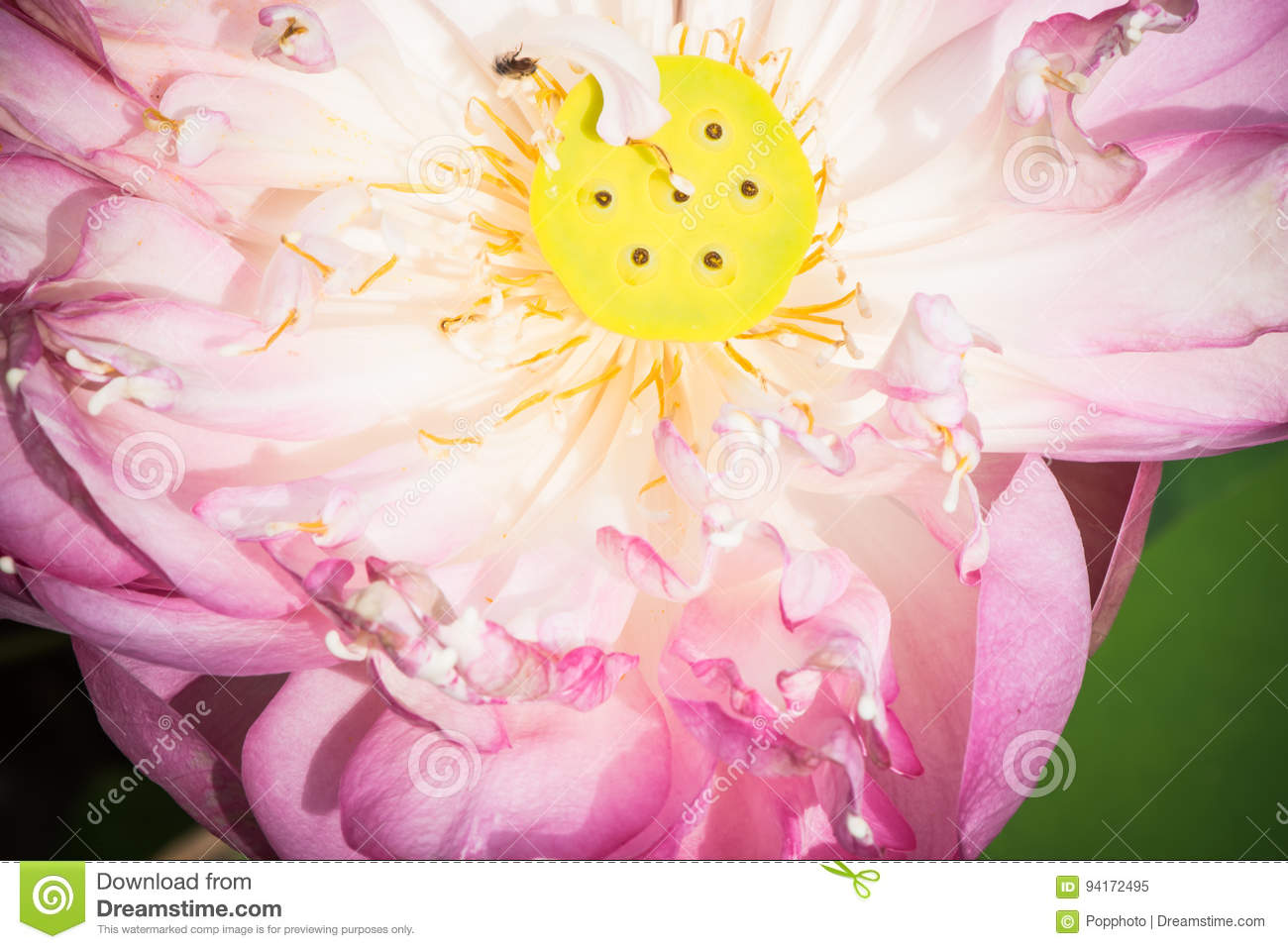 A half of open lotus flower stock image image of summer symbol a half of open lotus flower izmirmasajfo