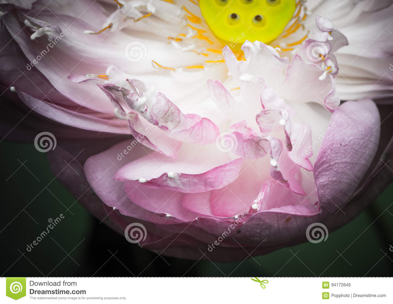A half of open lotus flower stock image image of aquatic petal a half of open lotus flower izmirmasajfo