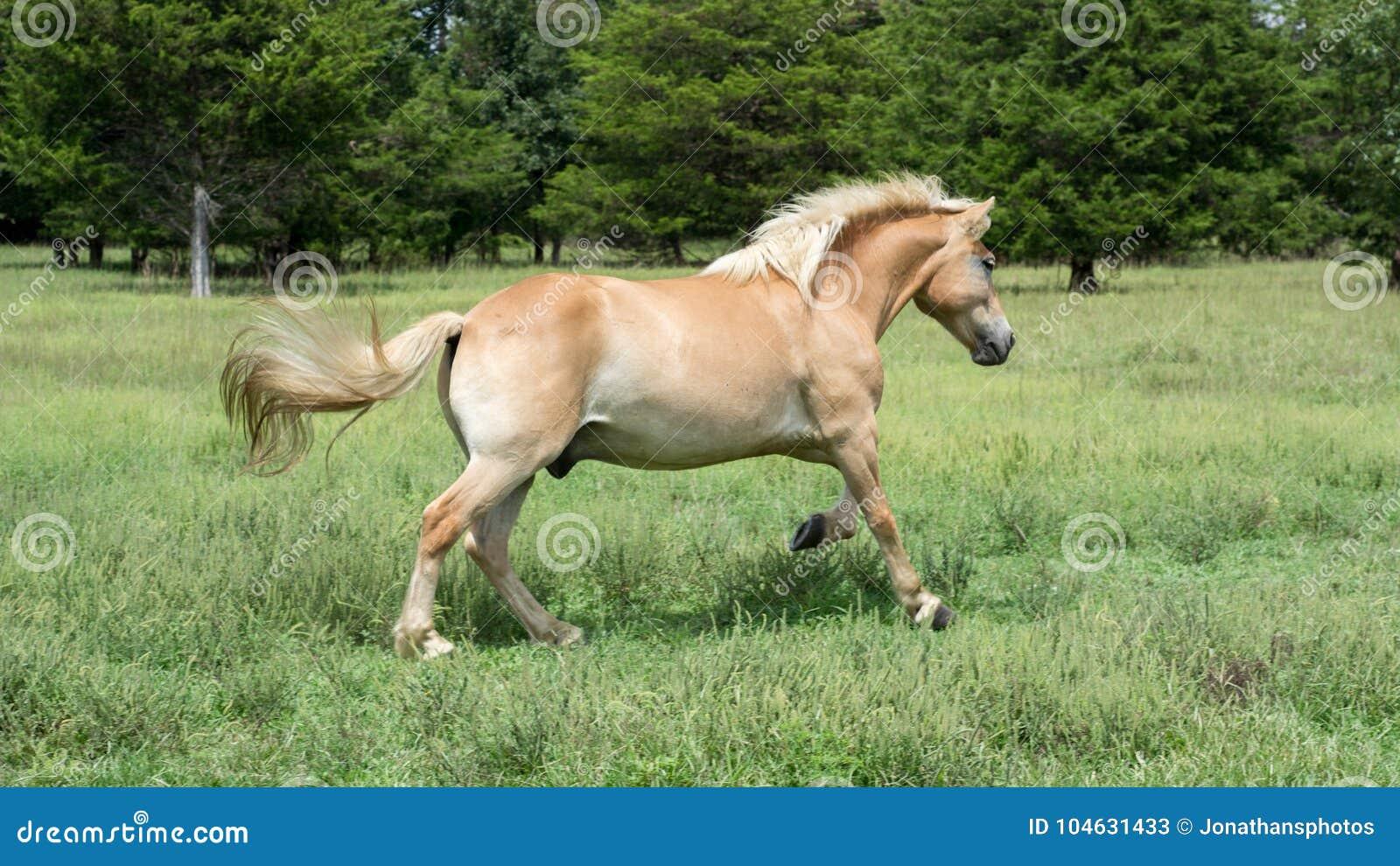 Download Halflingerpaard Die Op Grasrijk Gebied Lopen Stock Afbeelding - Afbeelding bestaande uit zoogdier, mooi: 104631433