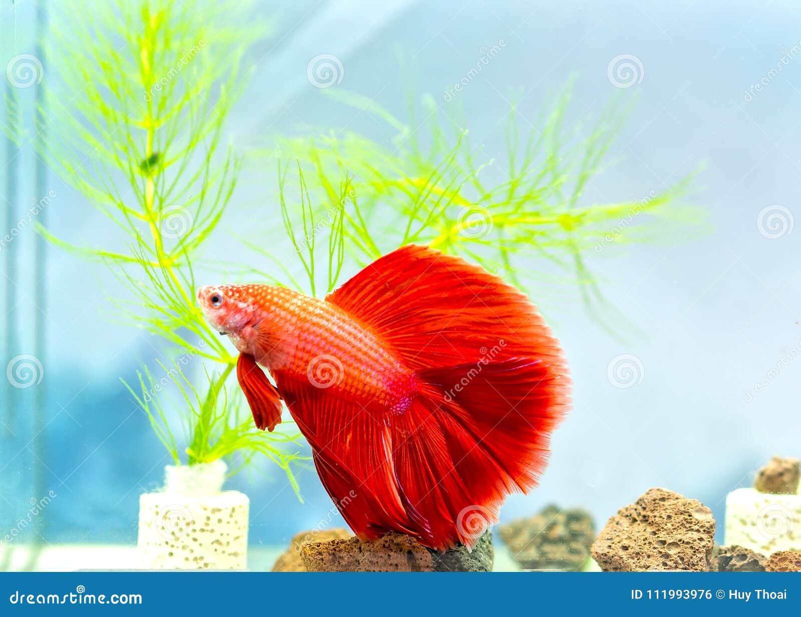 Halfmoon Betta Colorful Swimming In Fish Tank. Stock Photo - Image ...