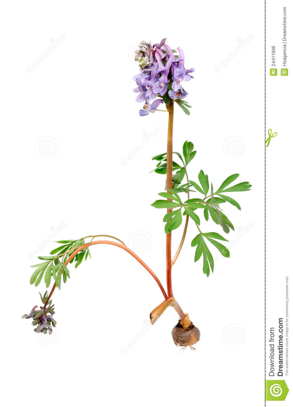 halleri del corydalis de la flor con el bulbo de la ra z imagen de archivo libre de regal as. Black Bedroom Furniture Sets. Home Design Ideas