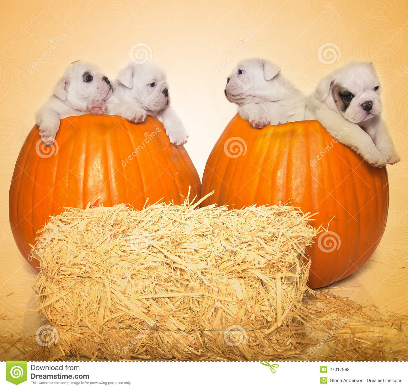 Halloween Portrait 4 Puppies 2 Pumpkins Stock Photo Image Of