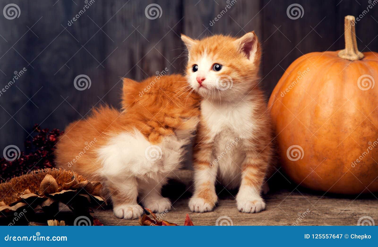 Download Halloween Pumpkin Jack-o-lantern And Ginger Kitten On Black Wood Stock Image - Image of leaves, jack: 125557647