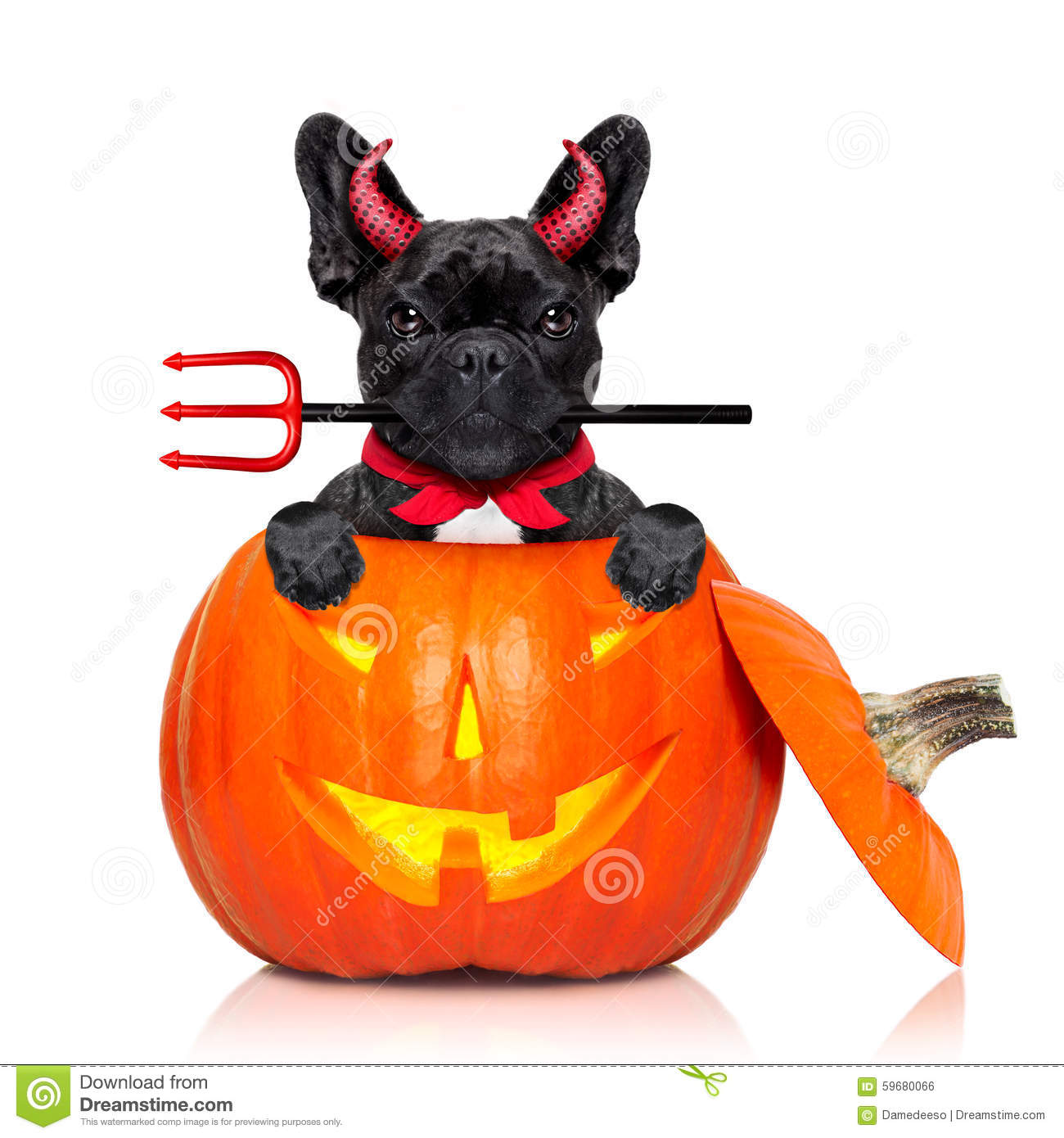 ... dog inside a pumpkin dressed as a bad devil , isolated on white