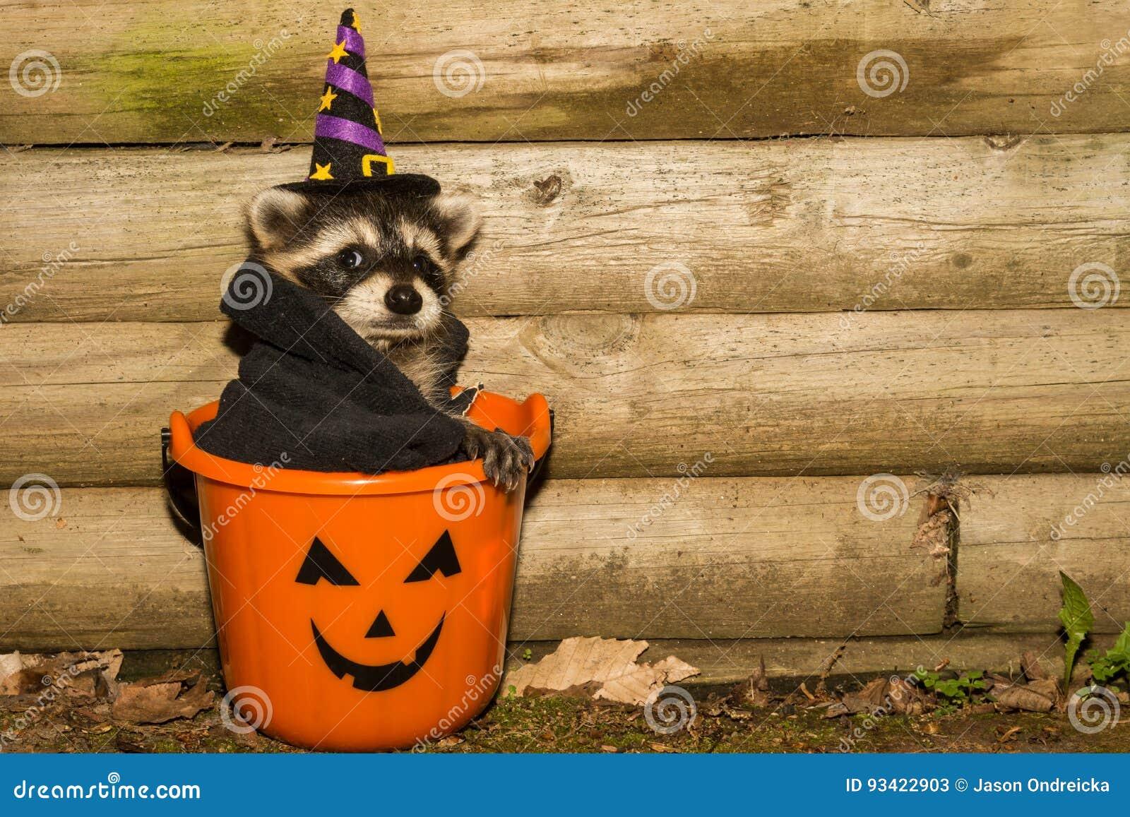 halloween raccoon stock image. image of curious, comical - 93422903