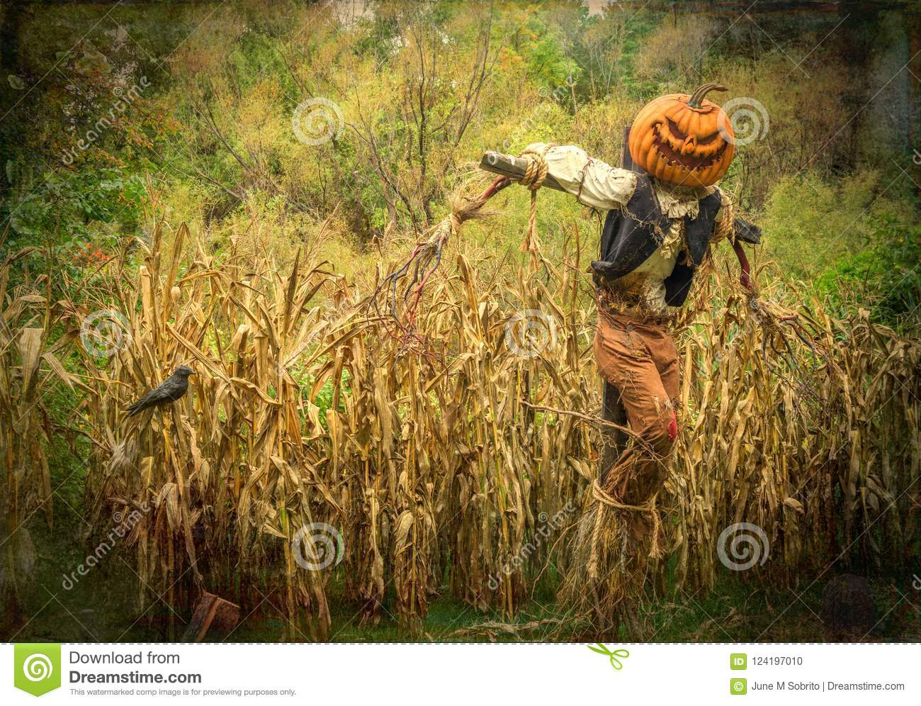 Halloween Scarecrow With Pumpkin Head In A Cornfield