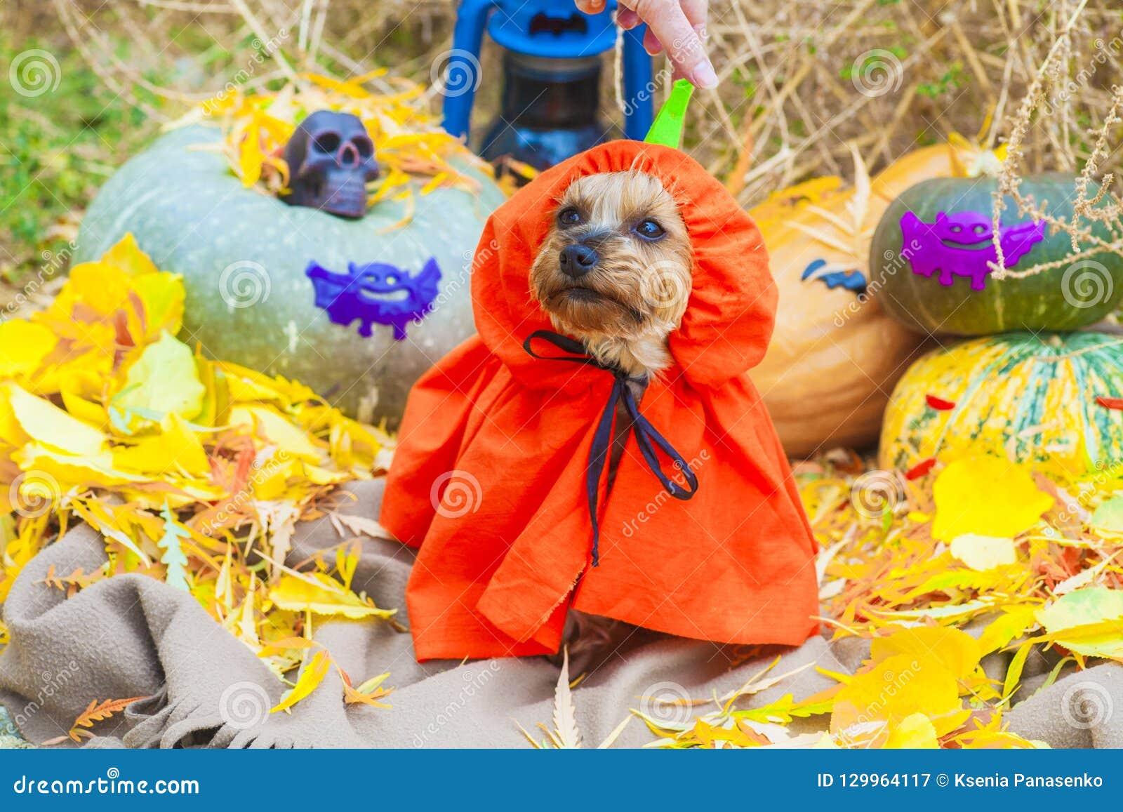 Halloween Yorkshire terrier in pumpkin costume looking at side