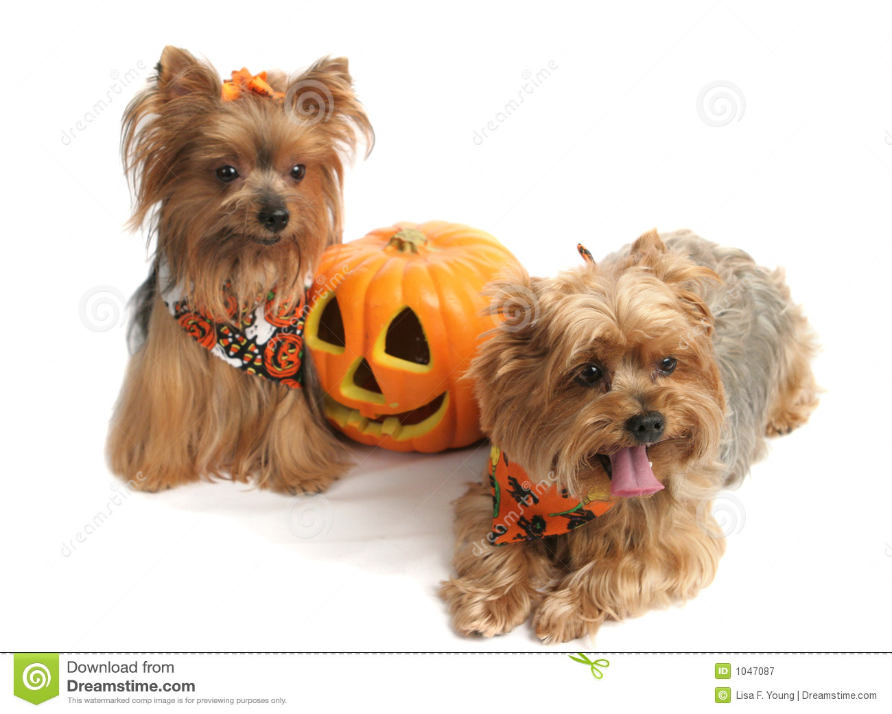 Halloween Yorkshire Terriers Royalty Free Stock