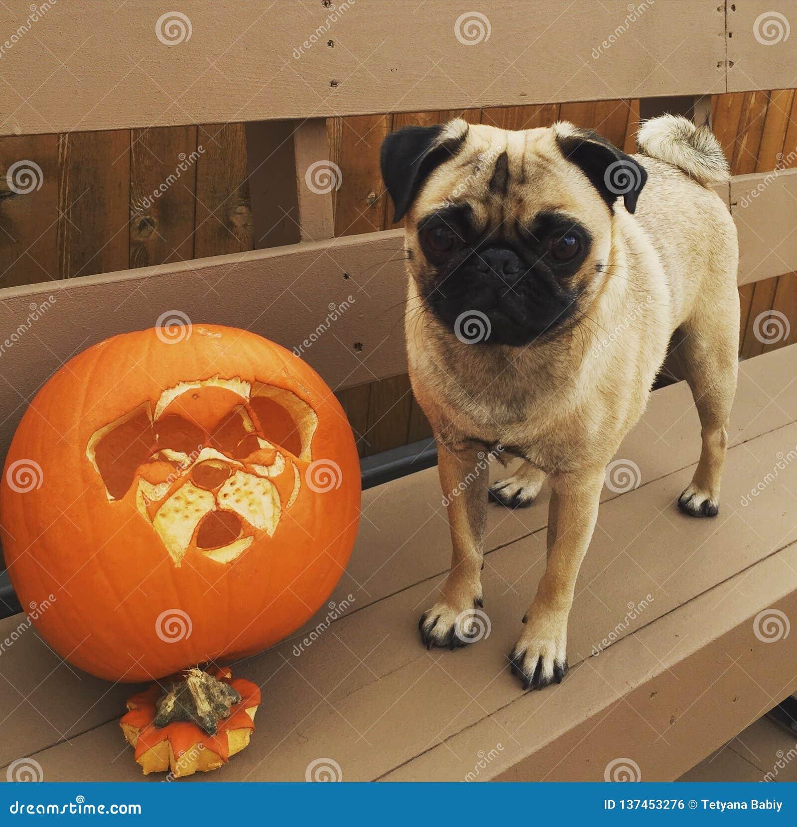 Halloweenowy bania pies i jeden przystojny mops
