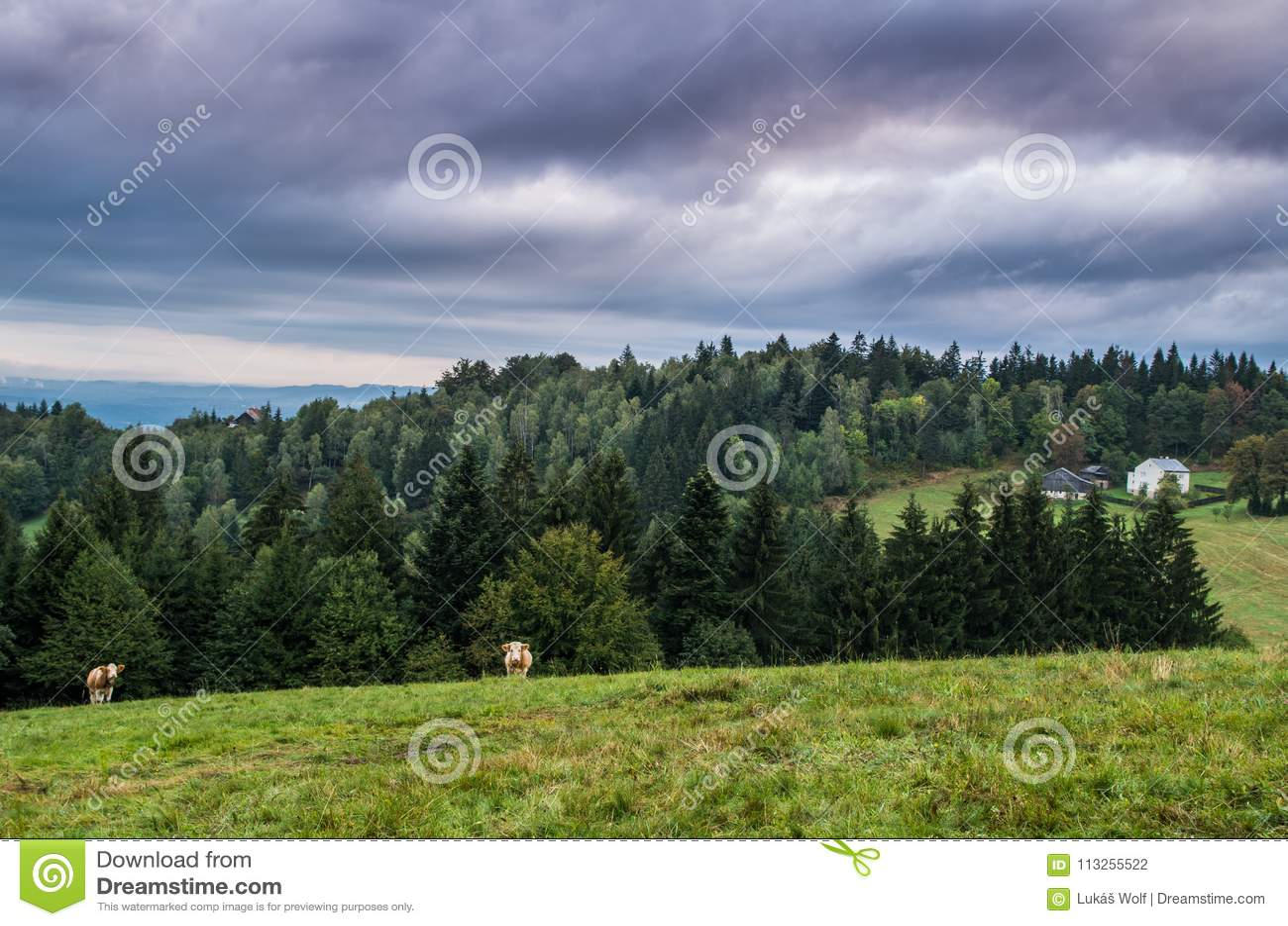 Halna łąka i krowy