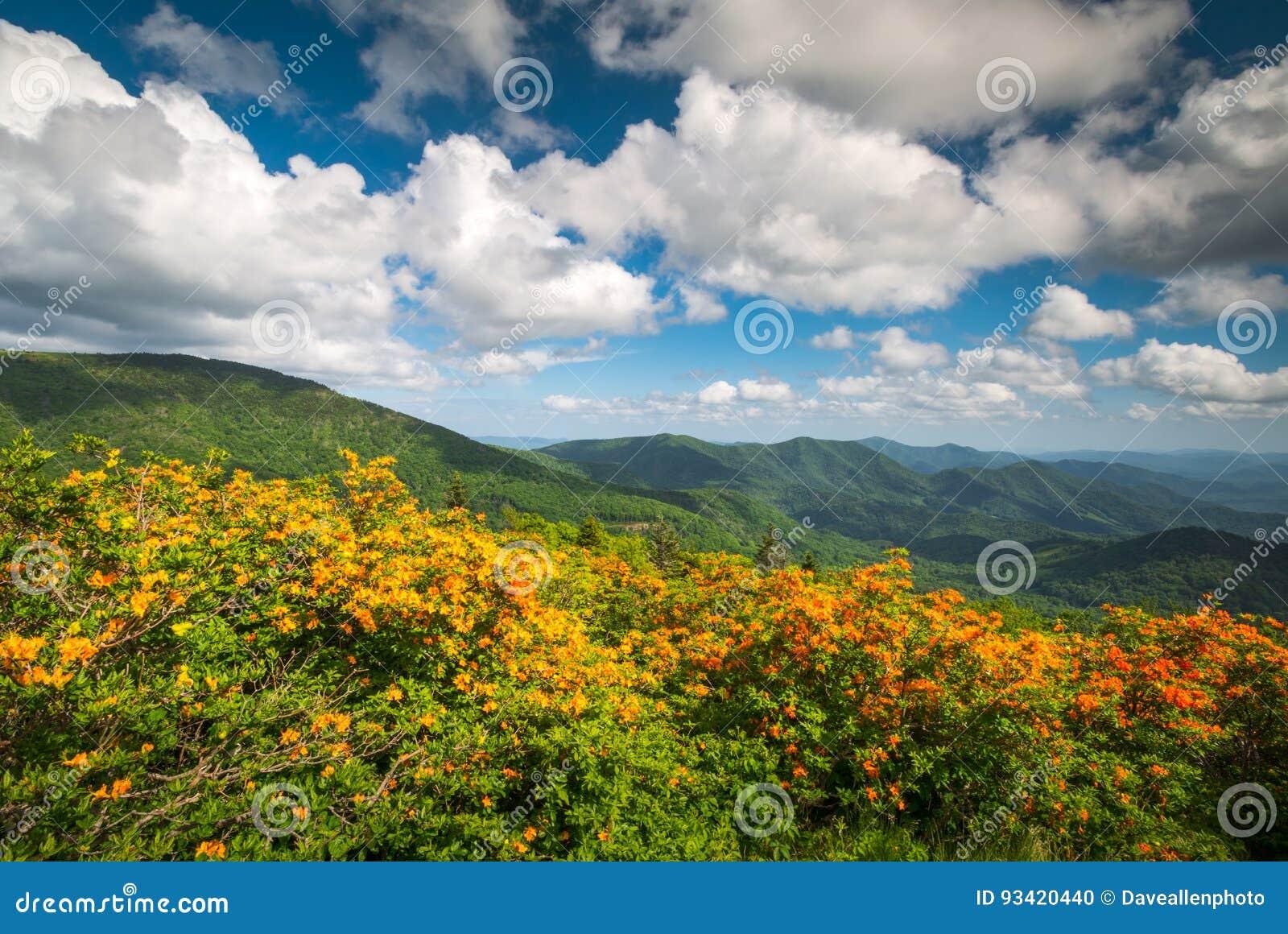 Halna płomień azalii wiosna Kwitnie Scenicznego Krajobrazowego Appalachia
