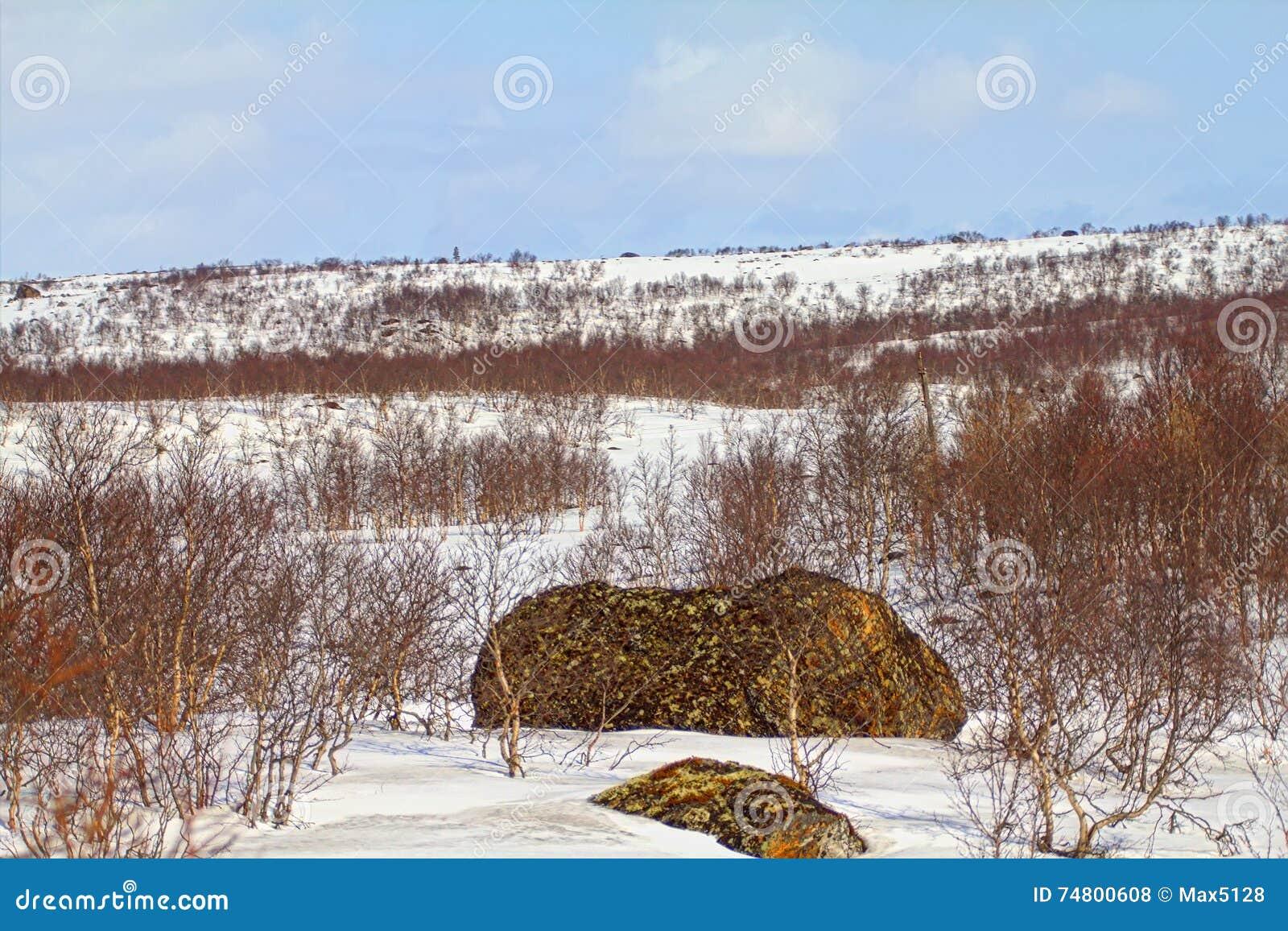 Halna tundra Lapland w wiośnie Śnieżysta rozległość i brzoza elfin