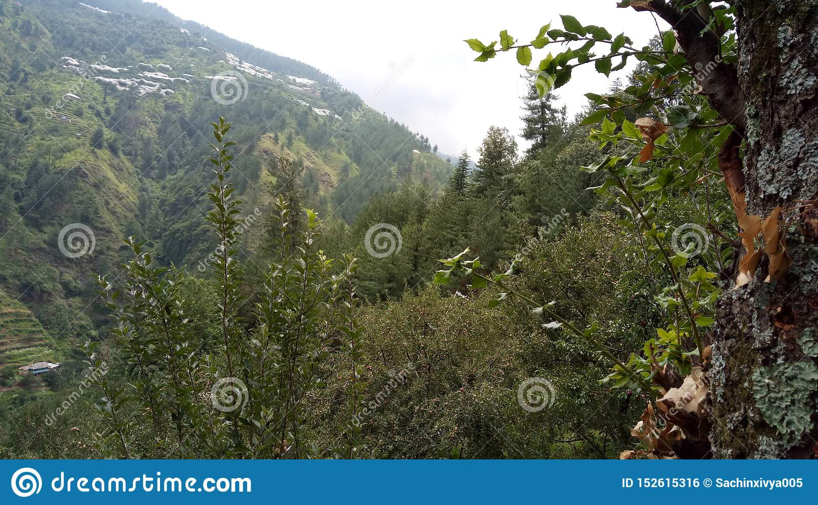 Halni jabłka Shimla