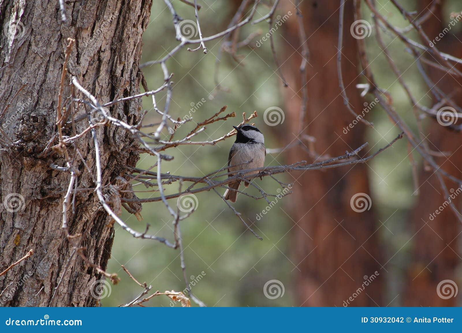 Halny Chickadee (Poecile gambeli)