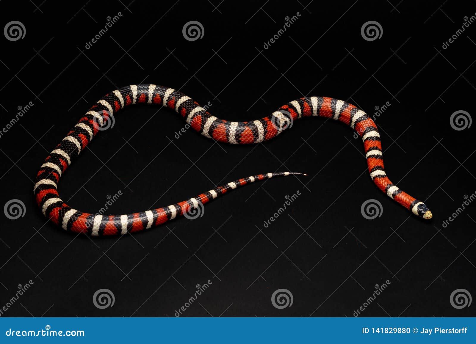 Halny Kingsnake - Lampropeltis zonata- nieszkodliwy istoty ludzkie
