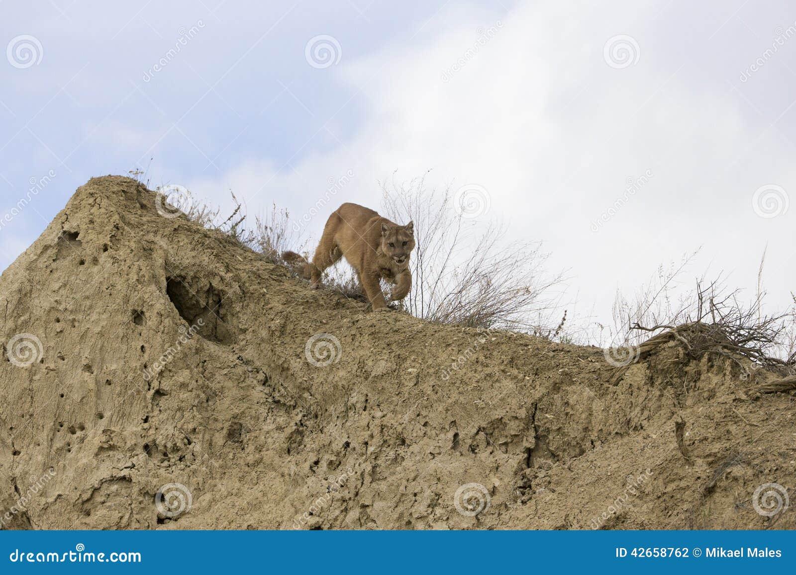 Halny lew dalej grasuje