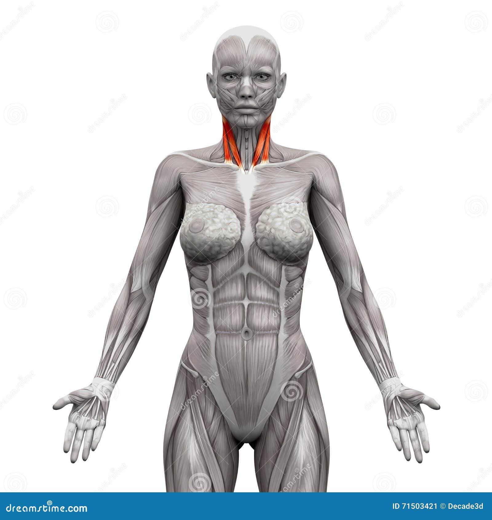 Groß Anatomie Hals Bilder - Anatomie Und Physiologie Knochen Bilder ...
