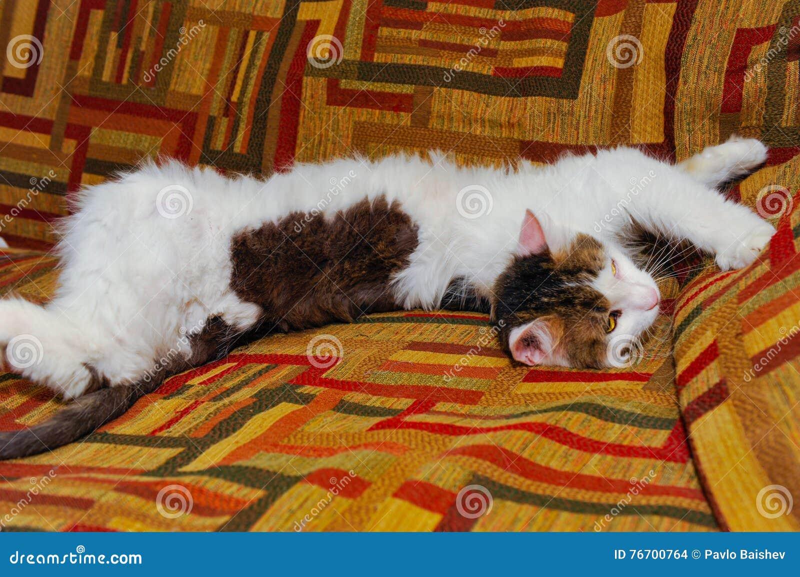 Halv vithusdjurkatt som poserar på soffan bakgrund av fyrkanter av diff