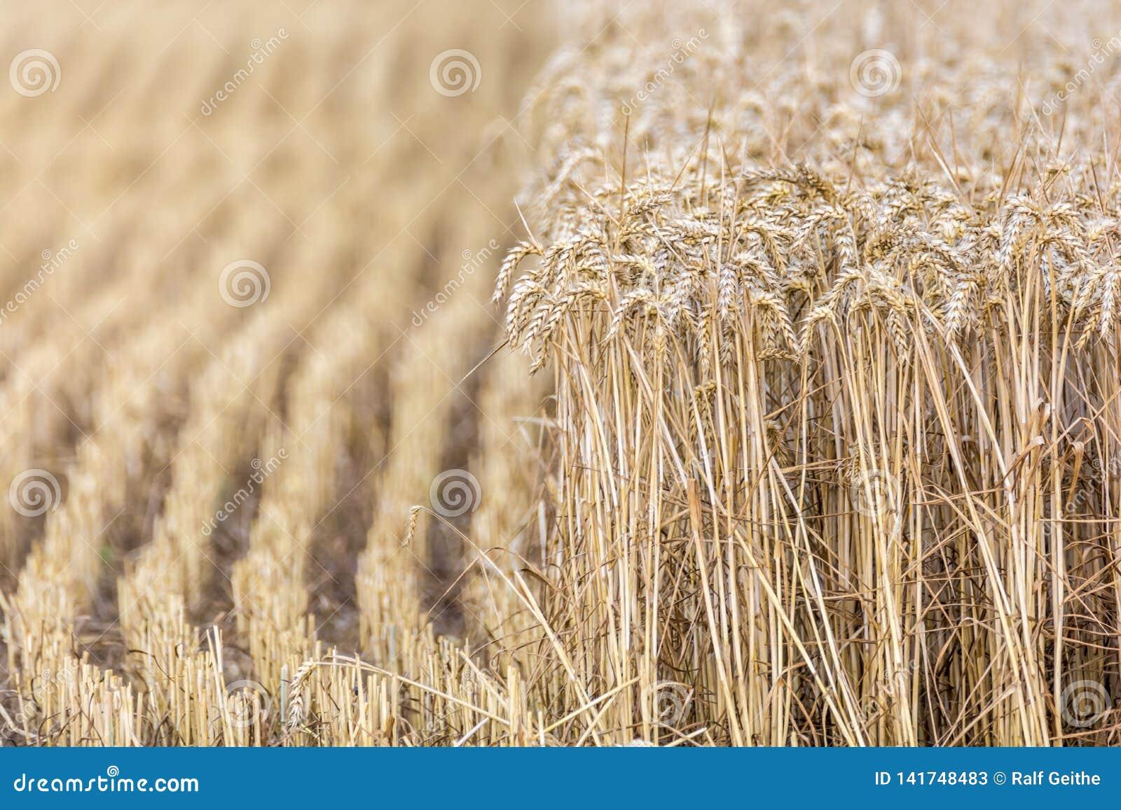 Halva skördat vetefält