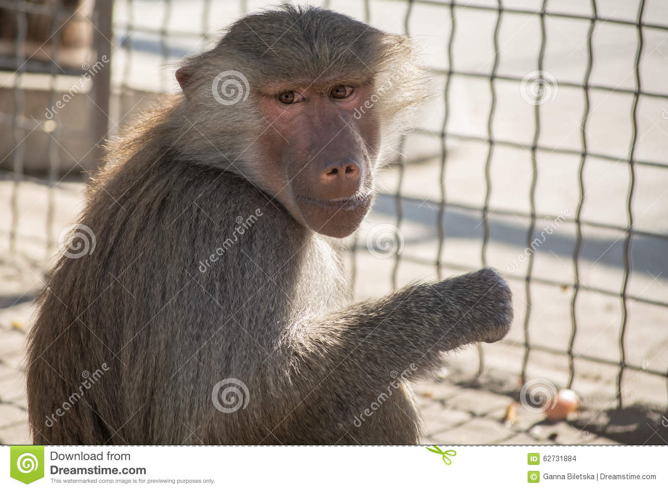 Hamadryad monkey sitting in the zoo cage