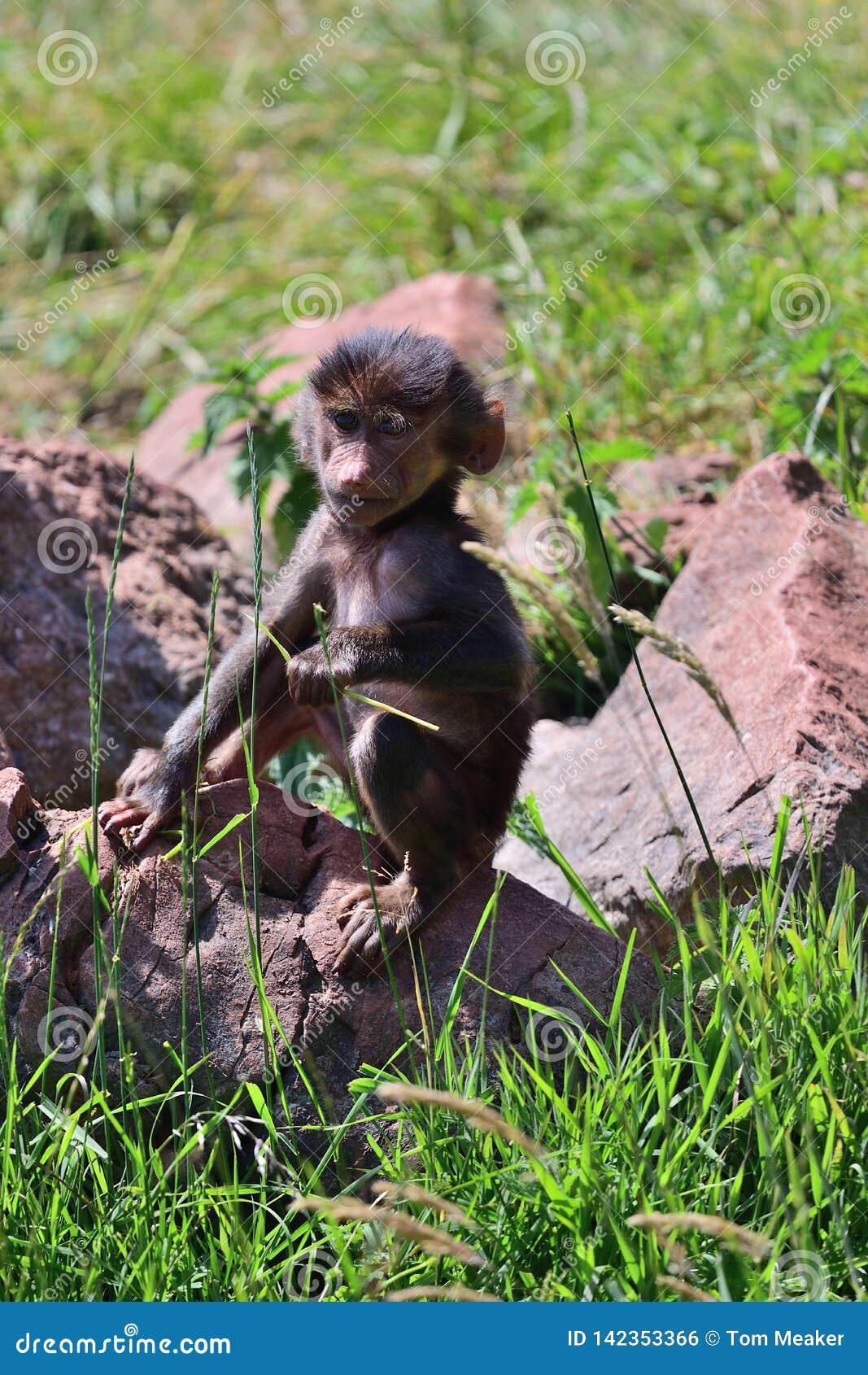 Hamadryas狒狒狒狒hamadryas