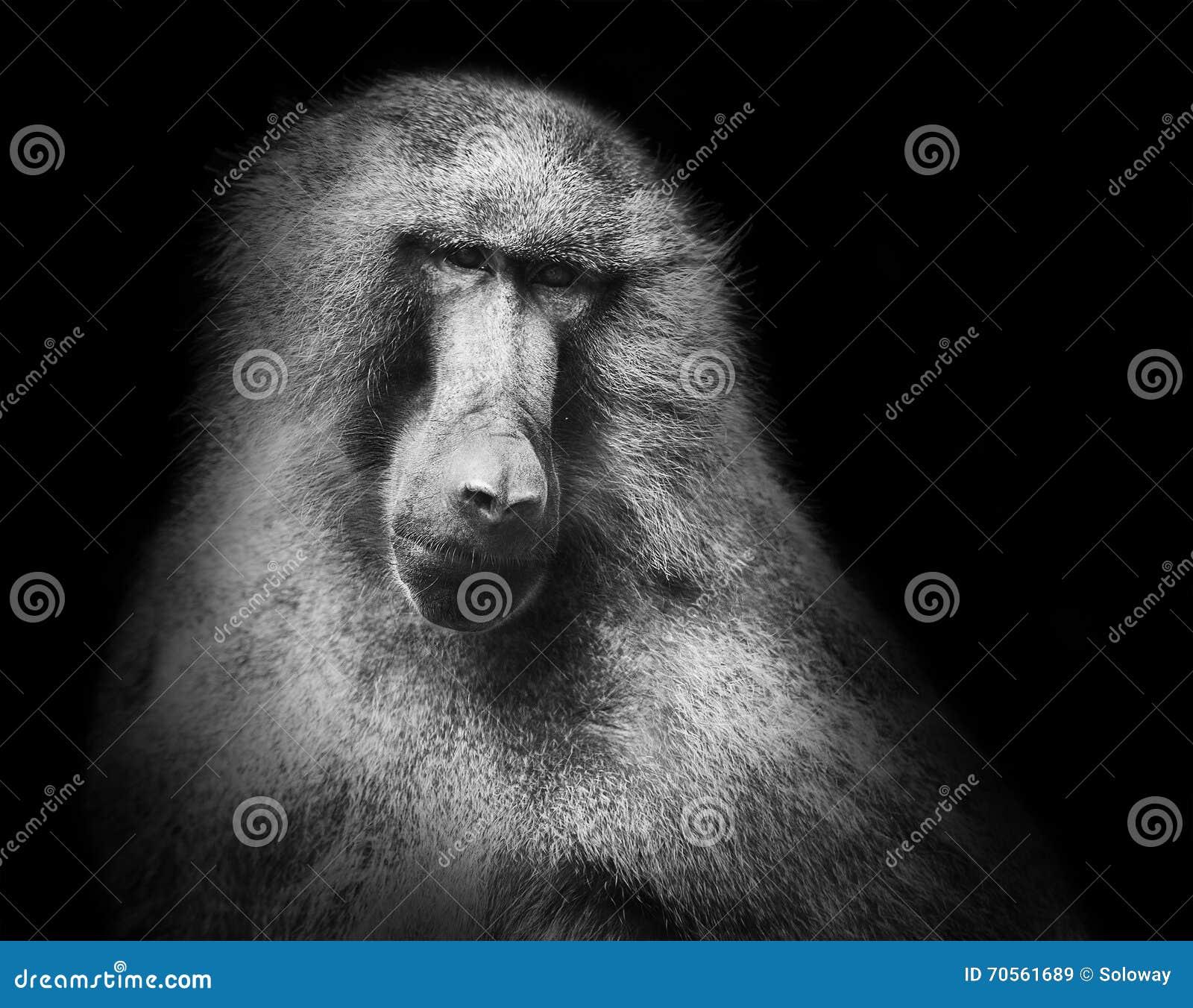 Hamadryas baboon monkey black white portrait