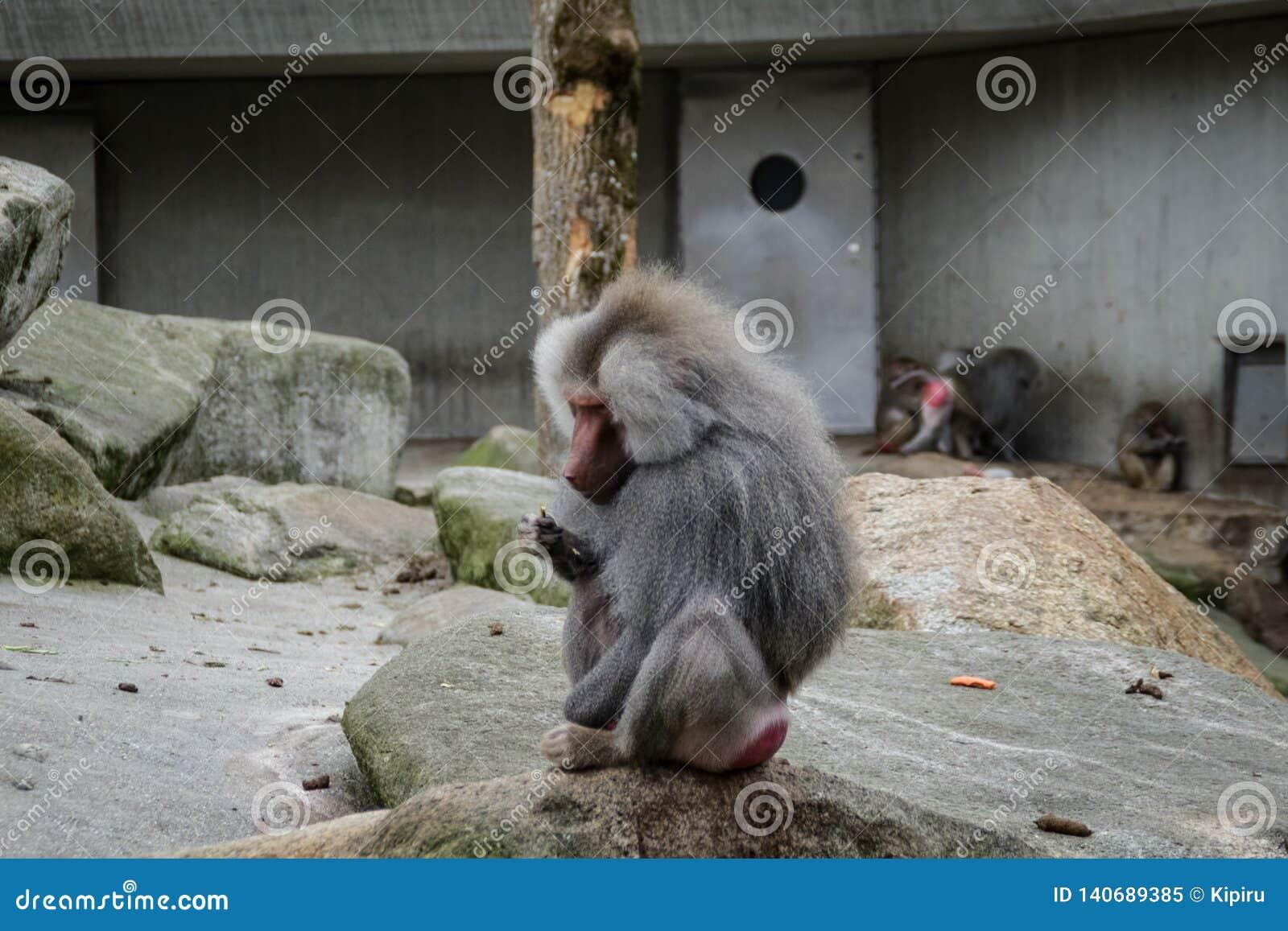 Hamadryas baboon monkey