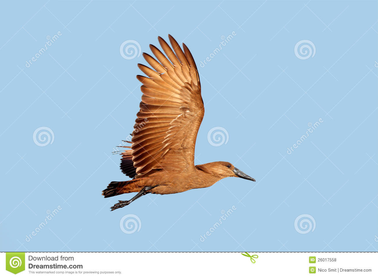 Flying Birds Free Stock Photos Download 3 416 Free Stock: Hamerkop Bird In Flight Stock Photo. Image Of Southern