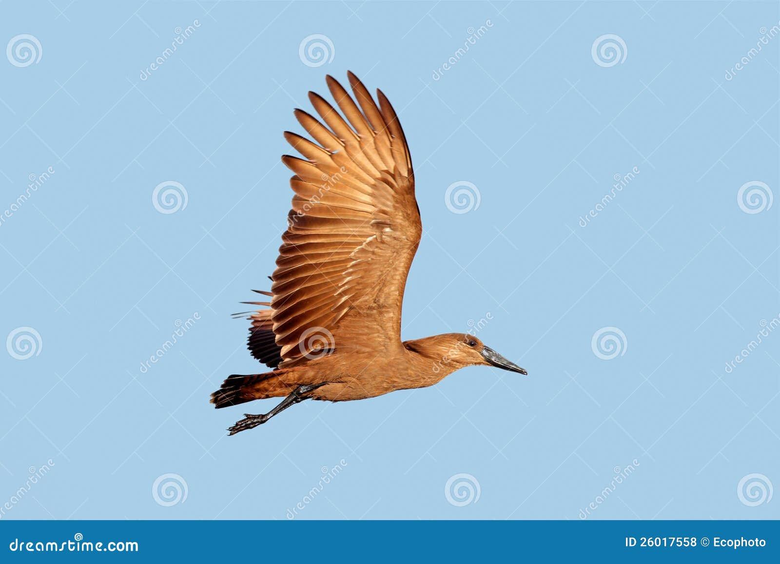 Hamerkop Vogel im Flug