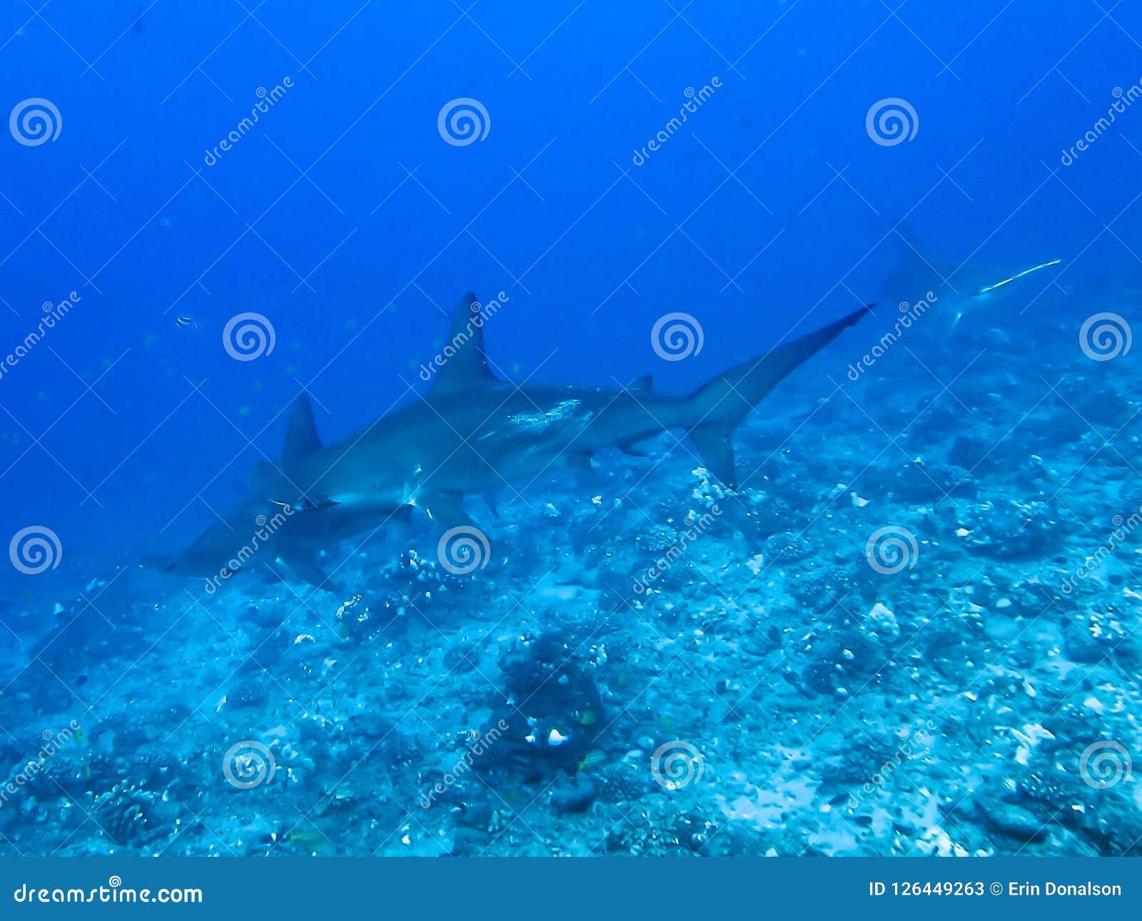 Hammerhaie-Schwimmen über Riff