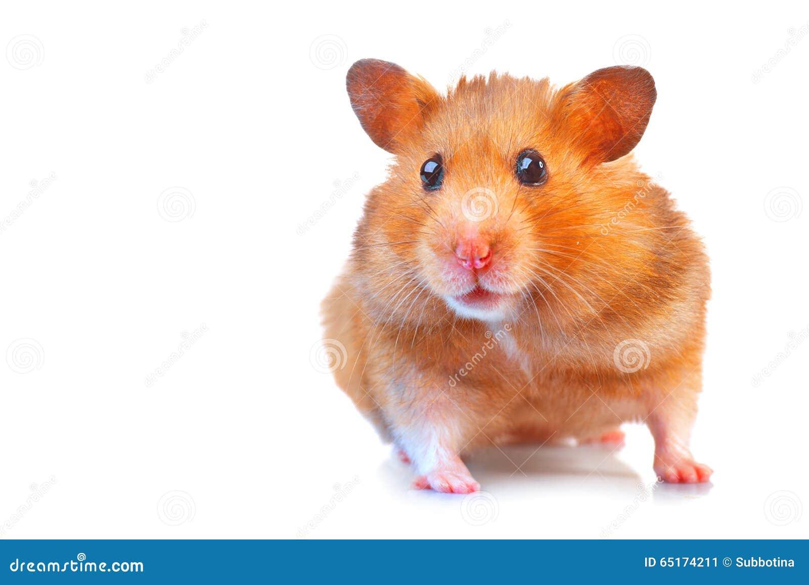 Hamster Animal familier mignon d isolement sur le blanc