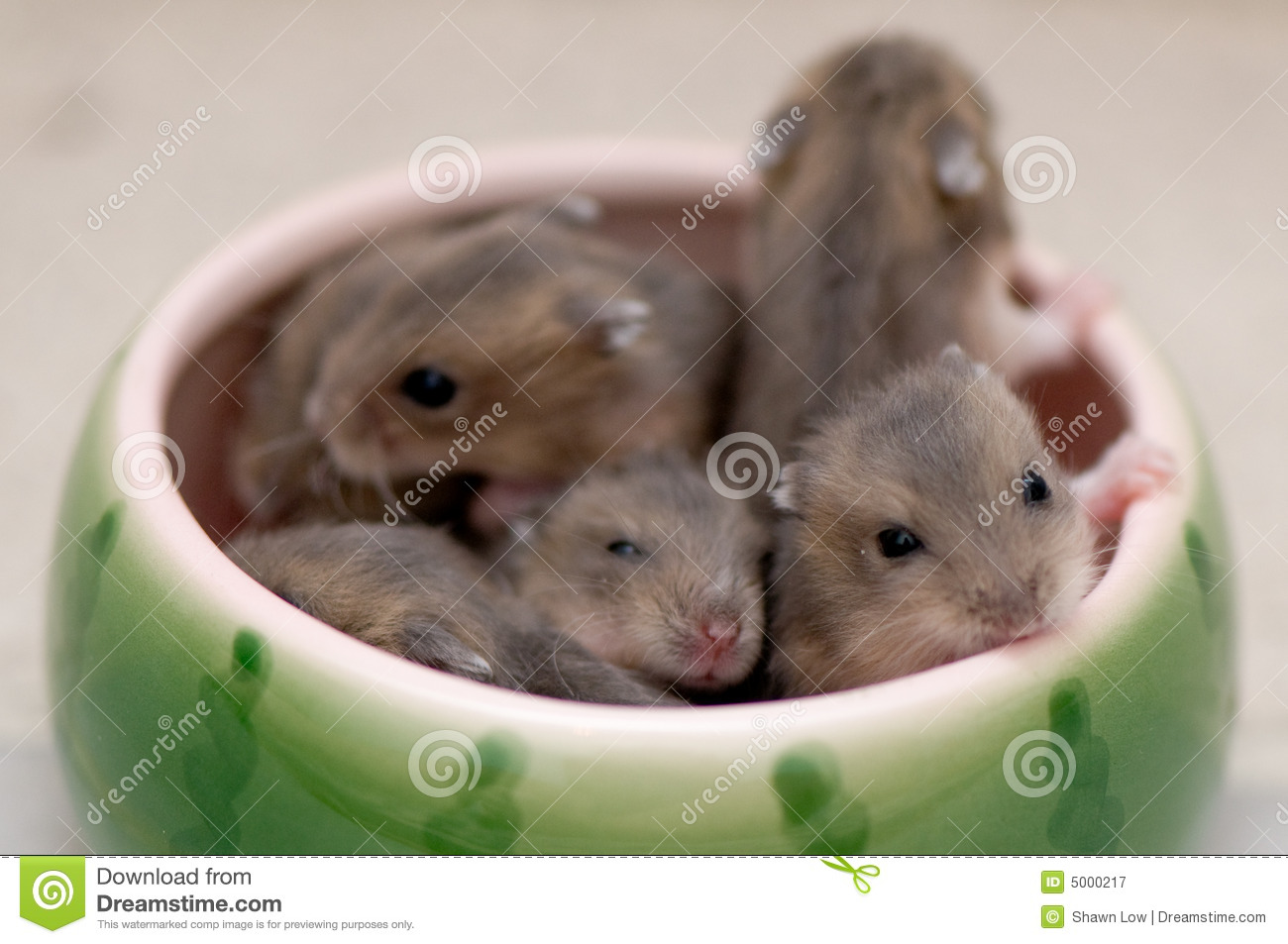 Dwarf hamster babies who are 5 weeks old, playing around in watermelon ...