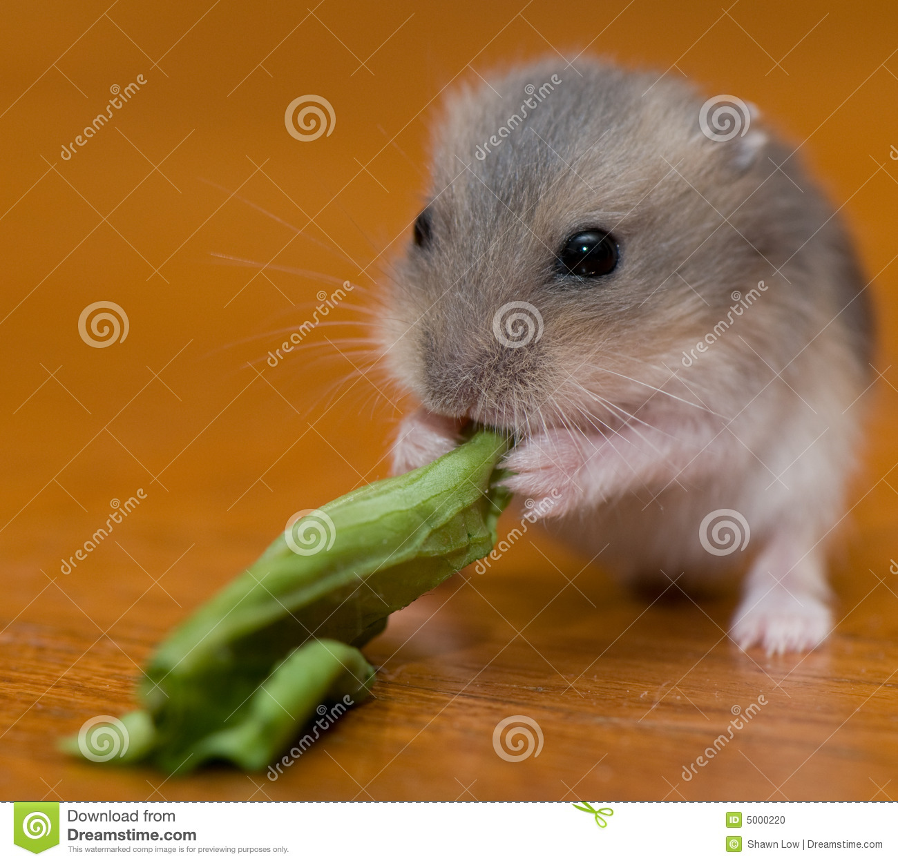 Hamster Babies 13 Stock Photo Image Of Dwarf Nature