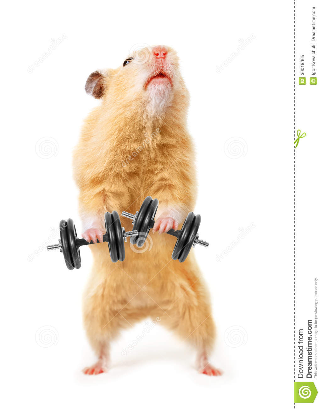 Hamster Royalty Free Stock Photo - Image: 30018465