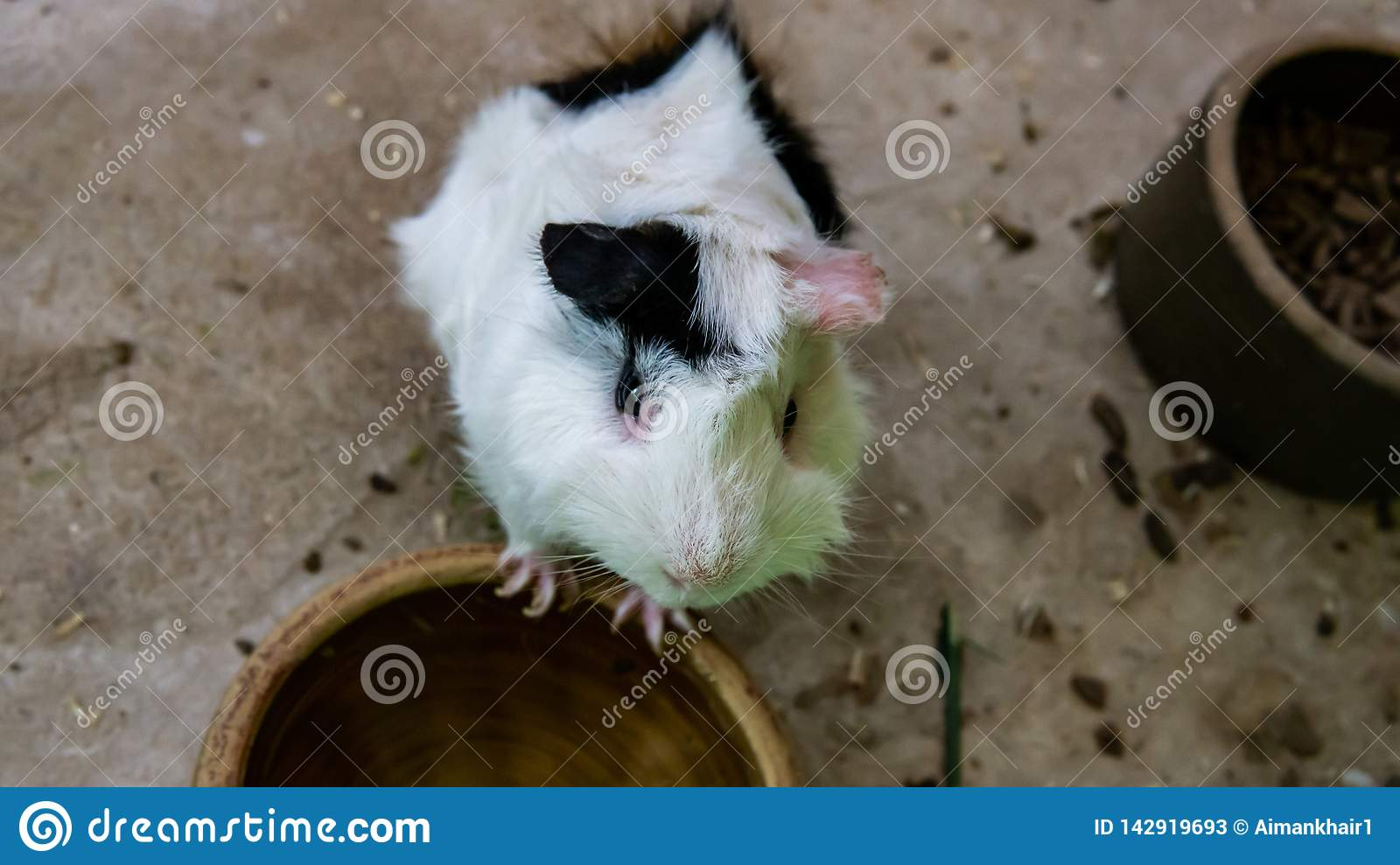 Black and white cute hamster want some food
