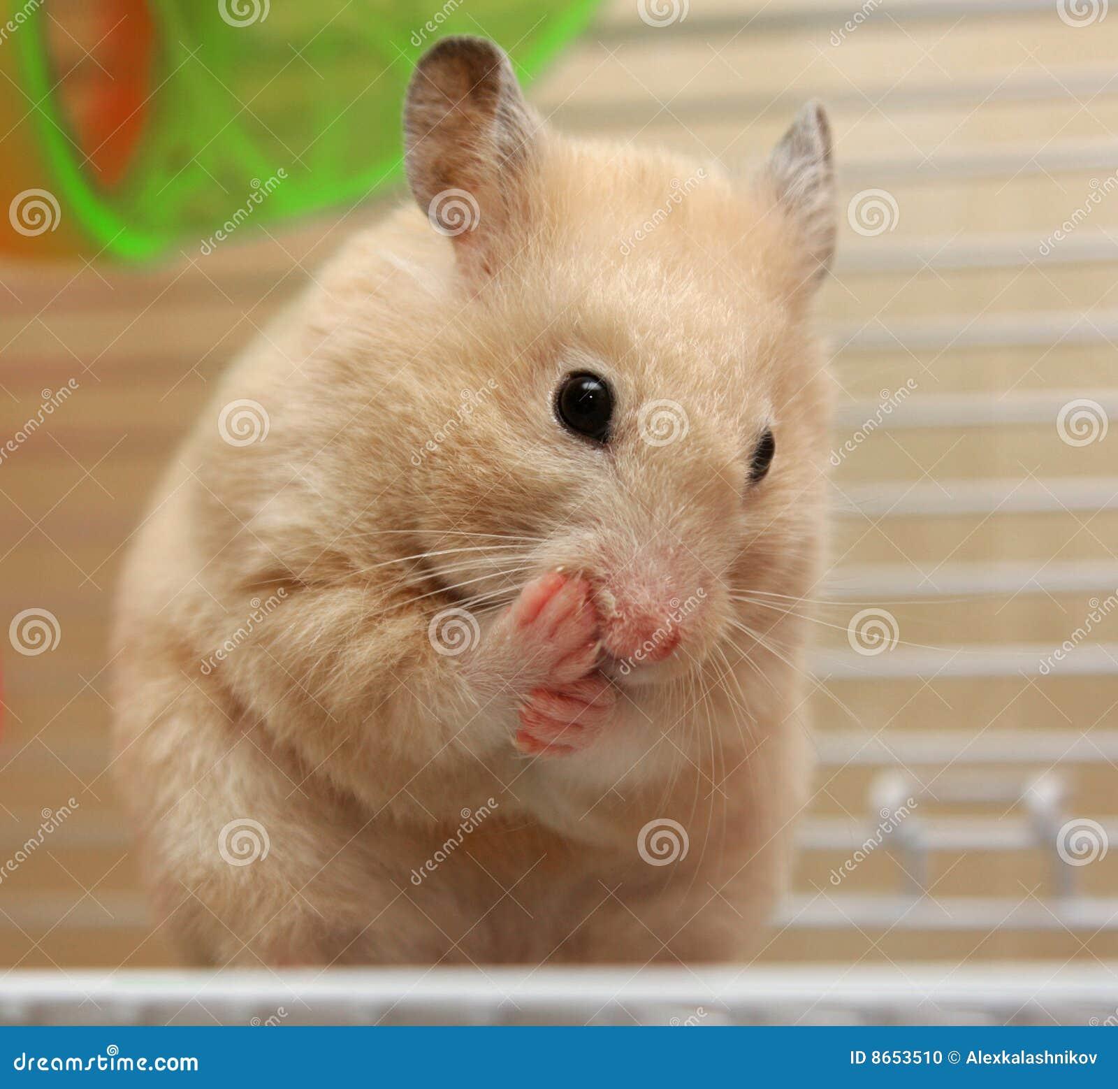Hamster crème