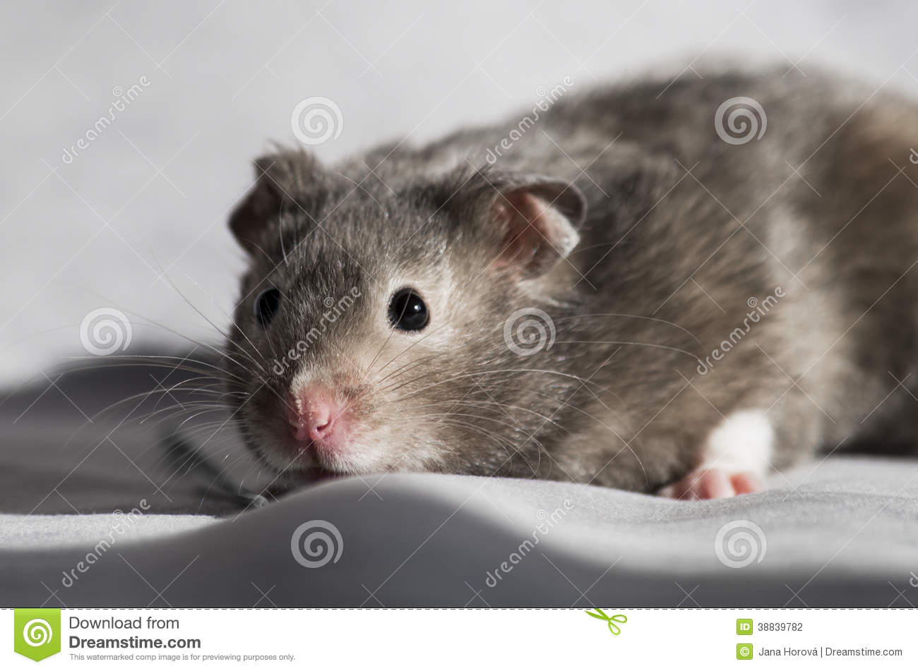 Hamster stock photo  Image of smiling, natural, color - 38839782