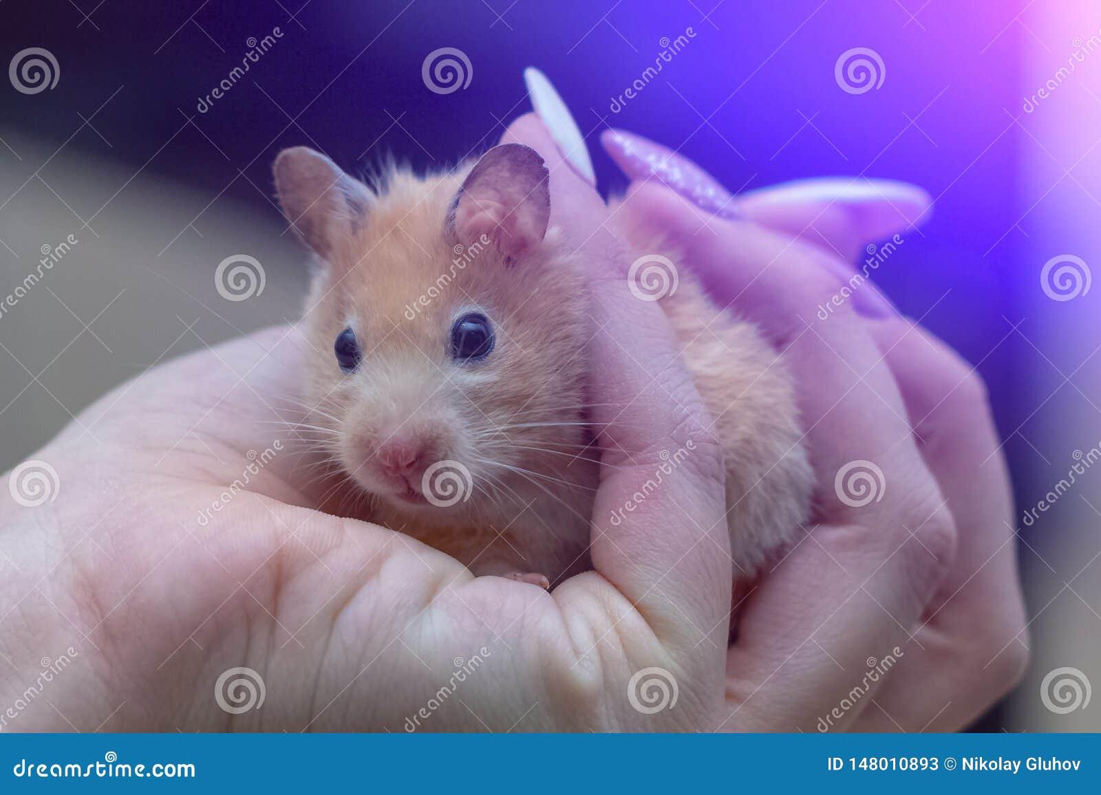 Hamster in den Armen eines erwachsenen M?dchens mit farbigen N?geln malte