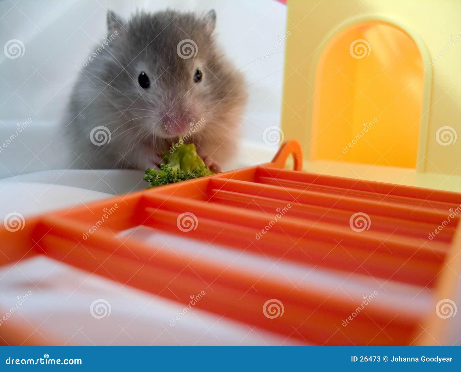 Hamster die Brocolli eet