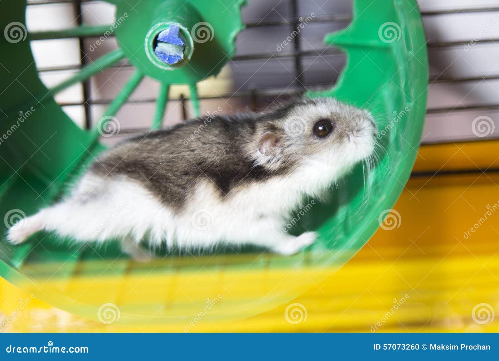 Hamster die op een wiel lopen