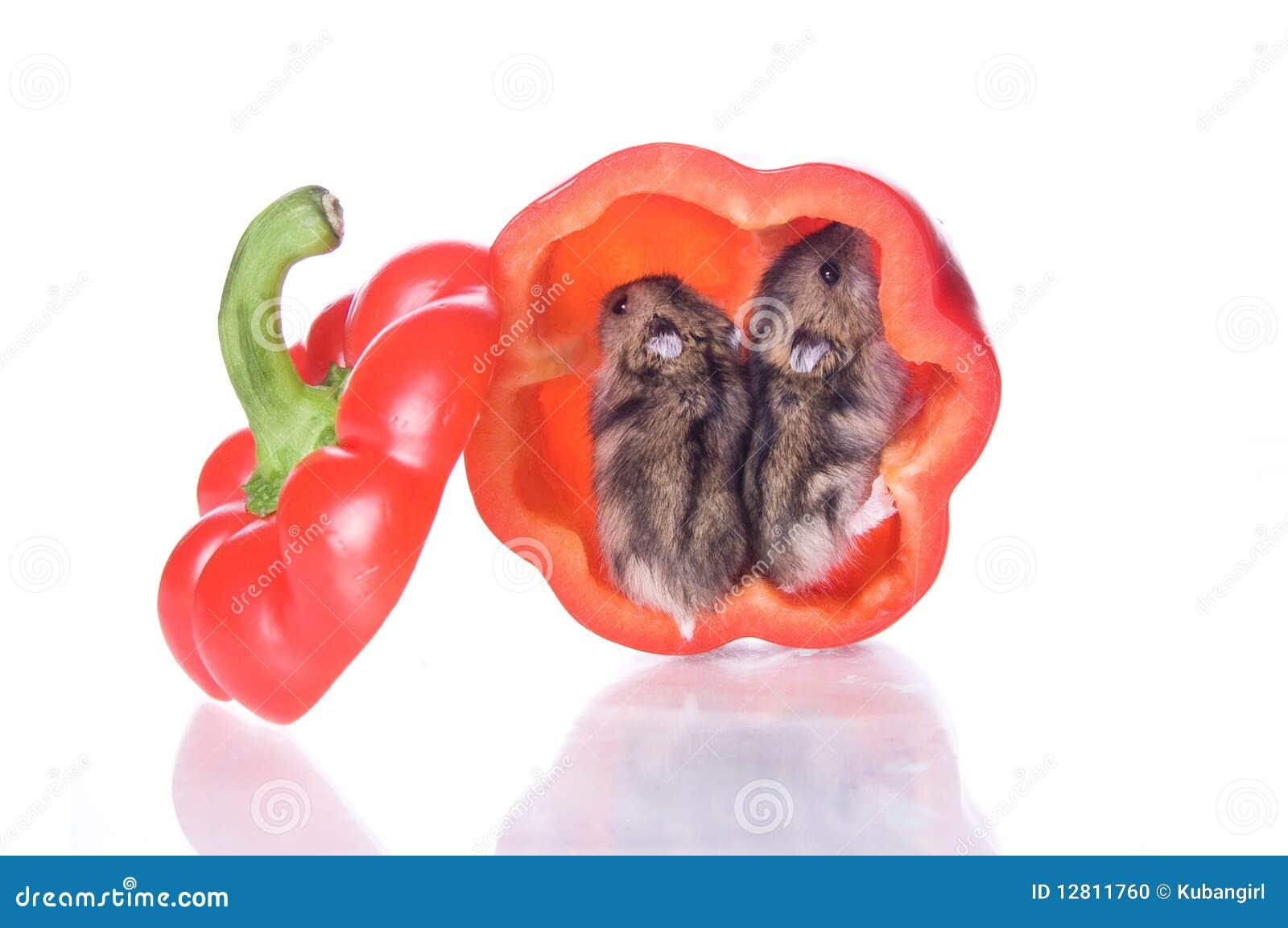 Hamster e pimenta lida