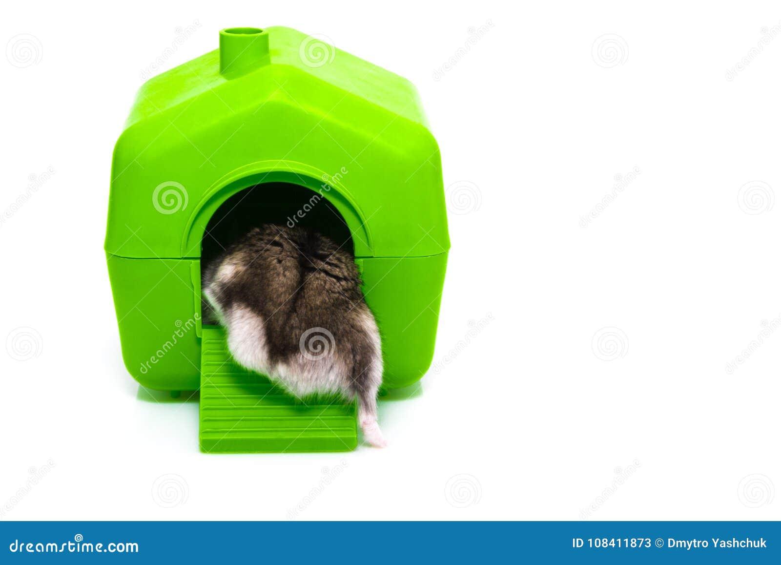 Hamster et maison d isolement sur le fond blanc