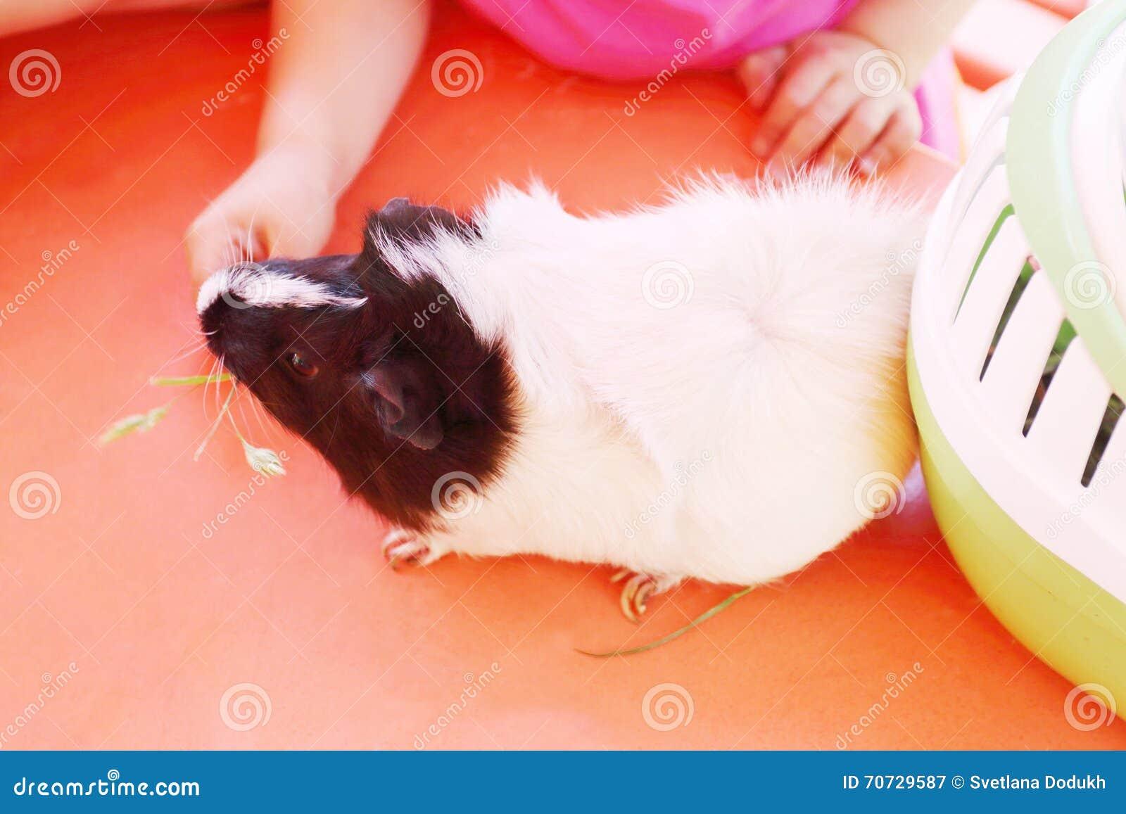 Hamster med vitt head ätagräs för kropp och för svart med flickan